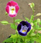 Torenia fournieri (Wishbone Flower, Bluewings) 1